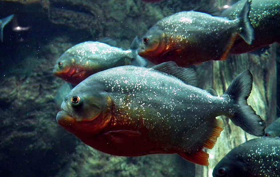 Piranha barking reveals fish identities in murky water