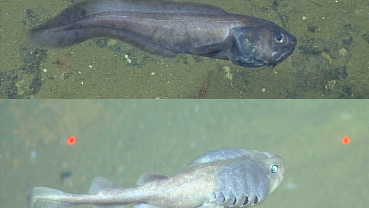 Two fish species can survive in areas of the Gulf of California with little oxygen