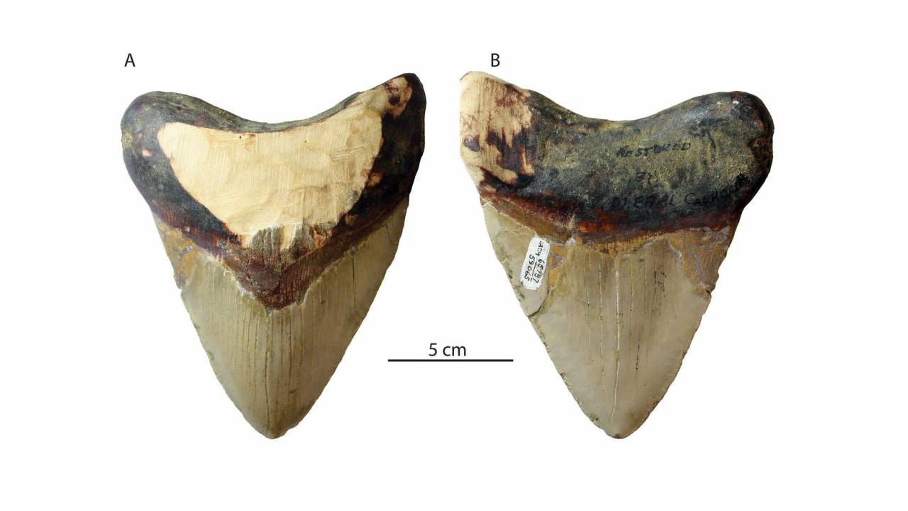 Huge shark war to blame for Megalodon extinction say researchers
