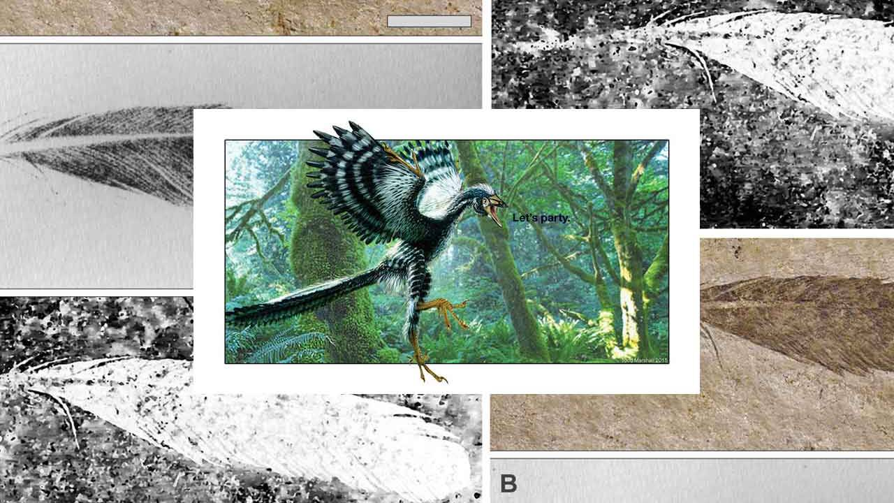 Archaeopteryx: Oldest fossil feather, new technique, new results