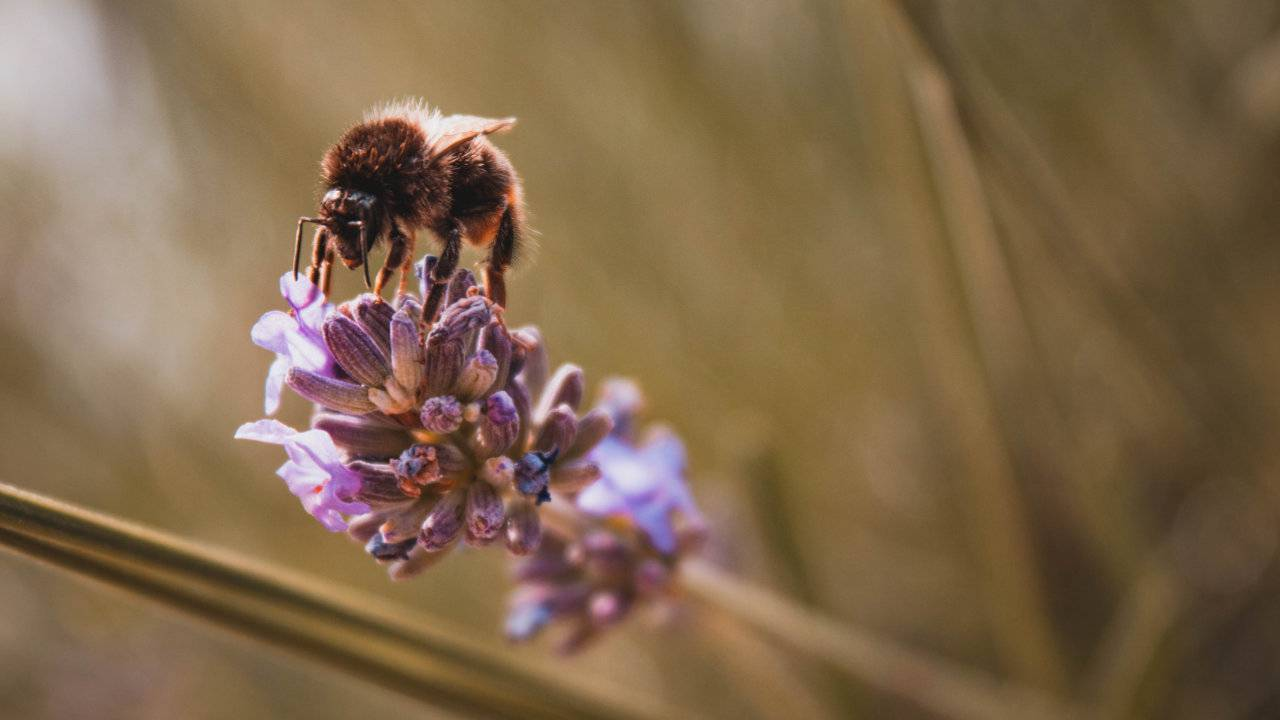 World's largest bee rediscovered after two samples appeared online
