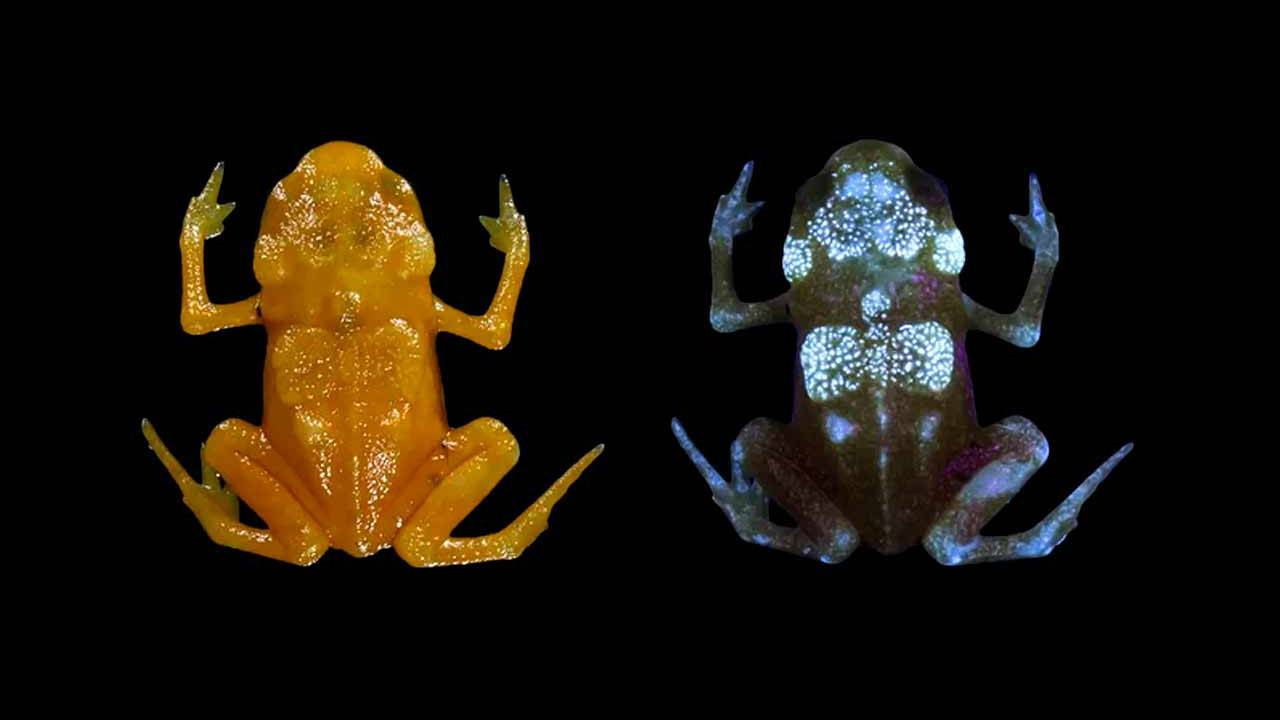 Pumpkin toadlets bones revealed to glow in patterns