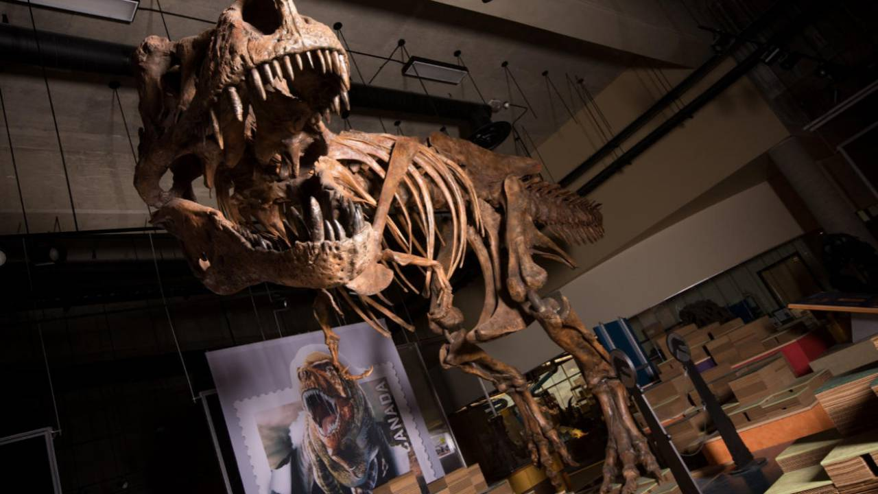 Canadian T-rex declared largest in world 28 years after discovery