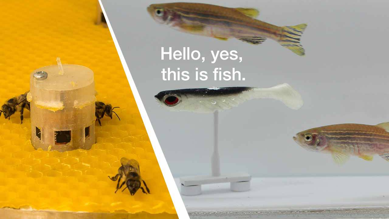 Scientists have allowed bees to talk with fish