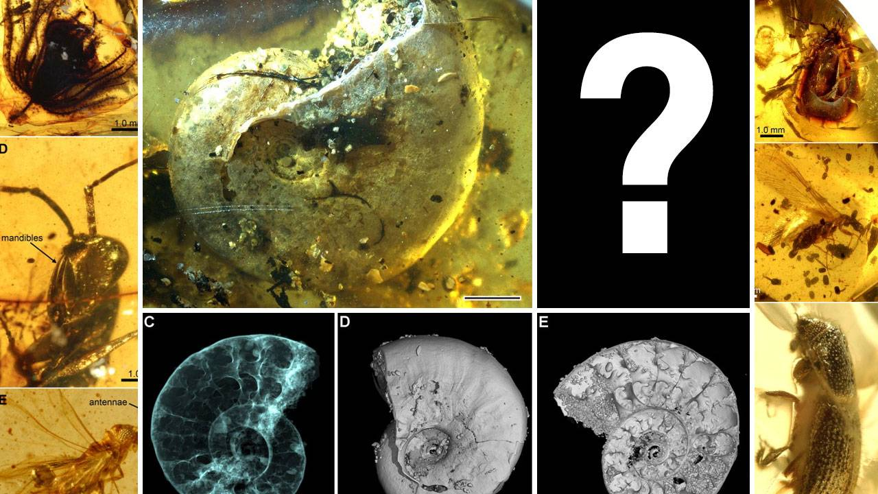 Seashells in ancient amber: A science mystery