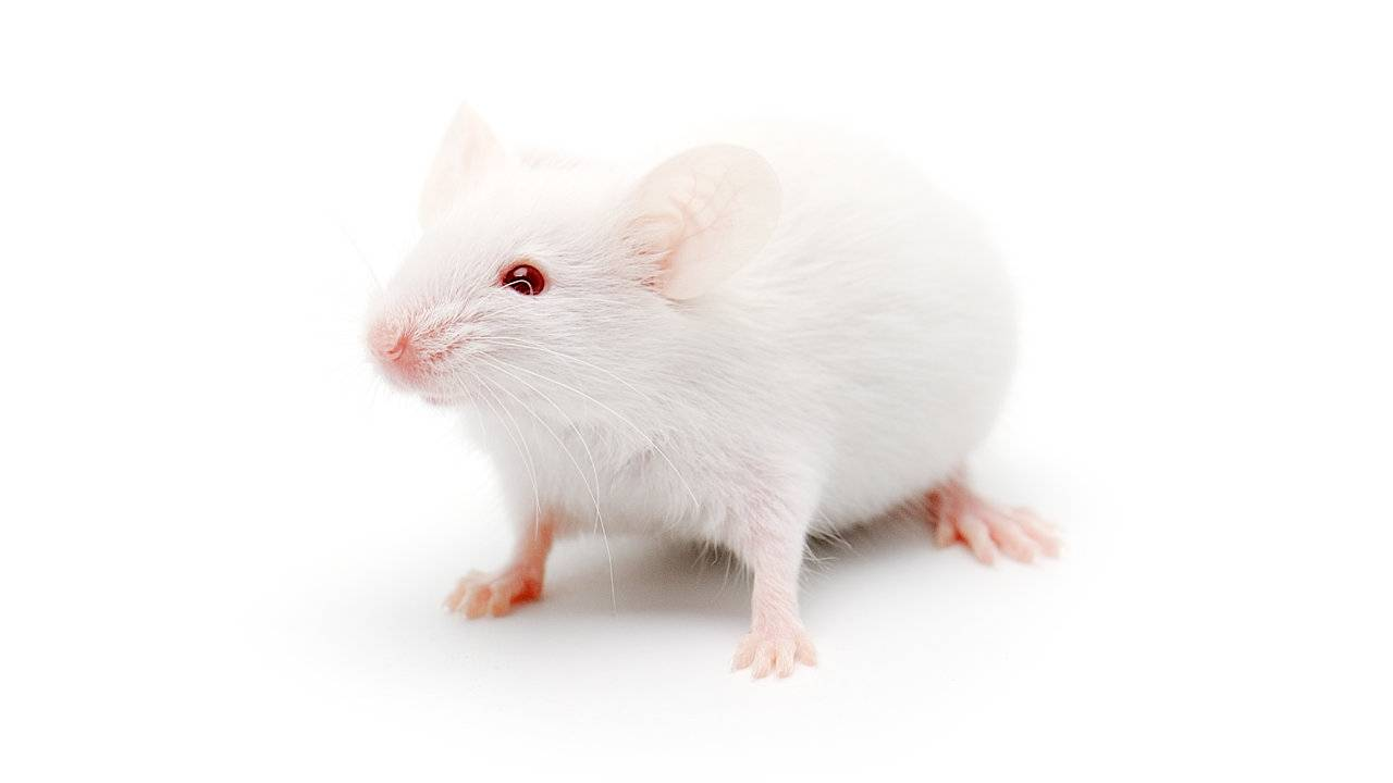 Researchers made old mice live longer using blood from young mice