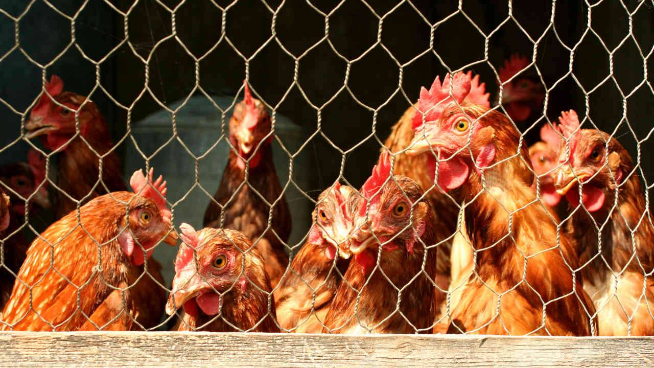 Backyard chickens are fueling major Salmonella outbreaks across US