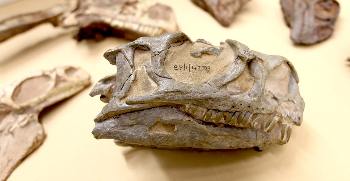 Incredibly rare dinosaur hid its secrets right in front of us for 30 years