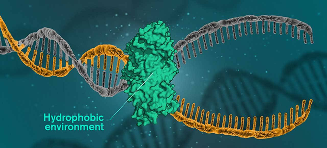 Researchers disprove prevailing theory on what holds DNA together