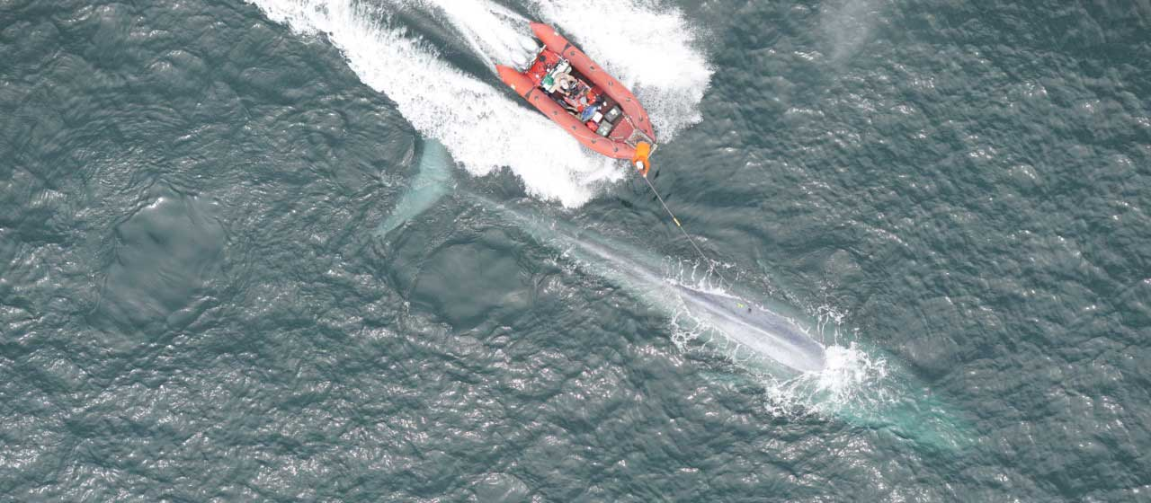 Stanford researchers record a blue whale's heart rate