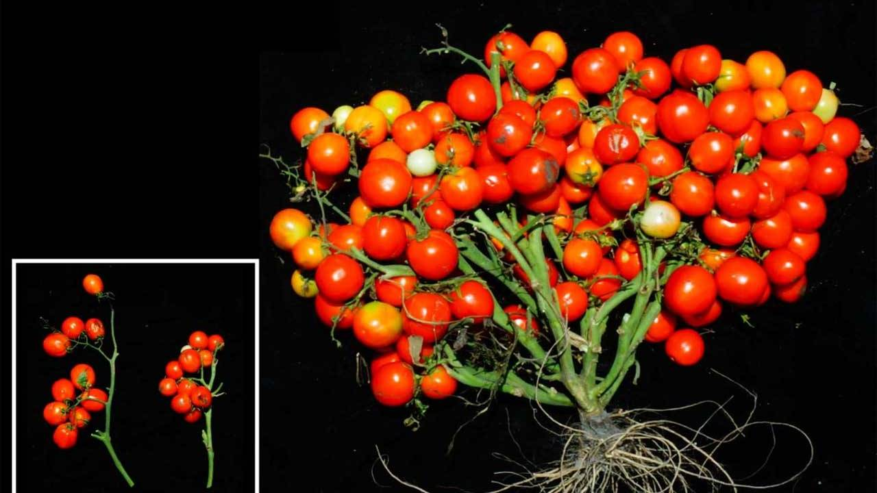 A new type of tomato is ideal for urban gardens and space