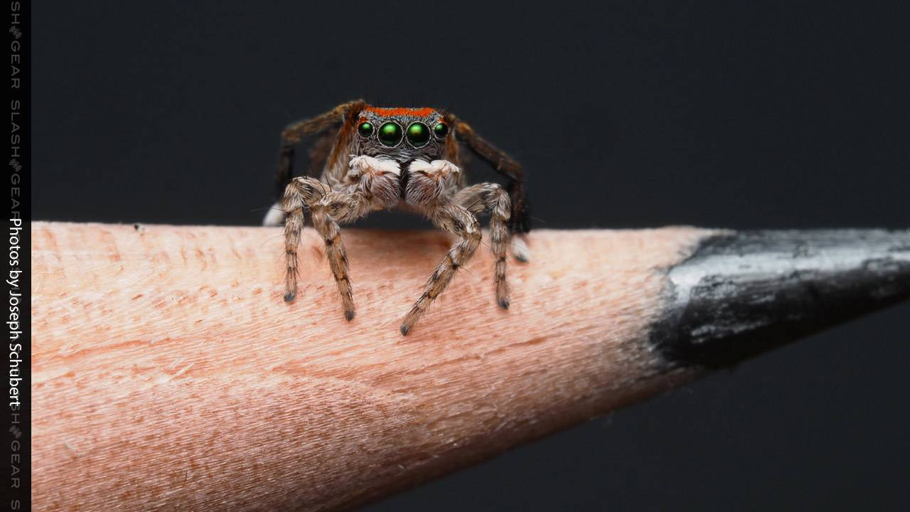 See Peacock Spider Joe's latest discovery of 7 new species
