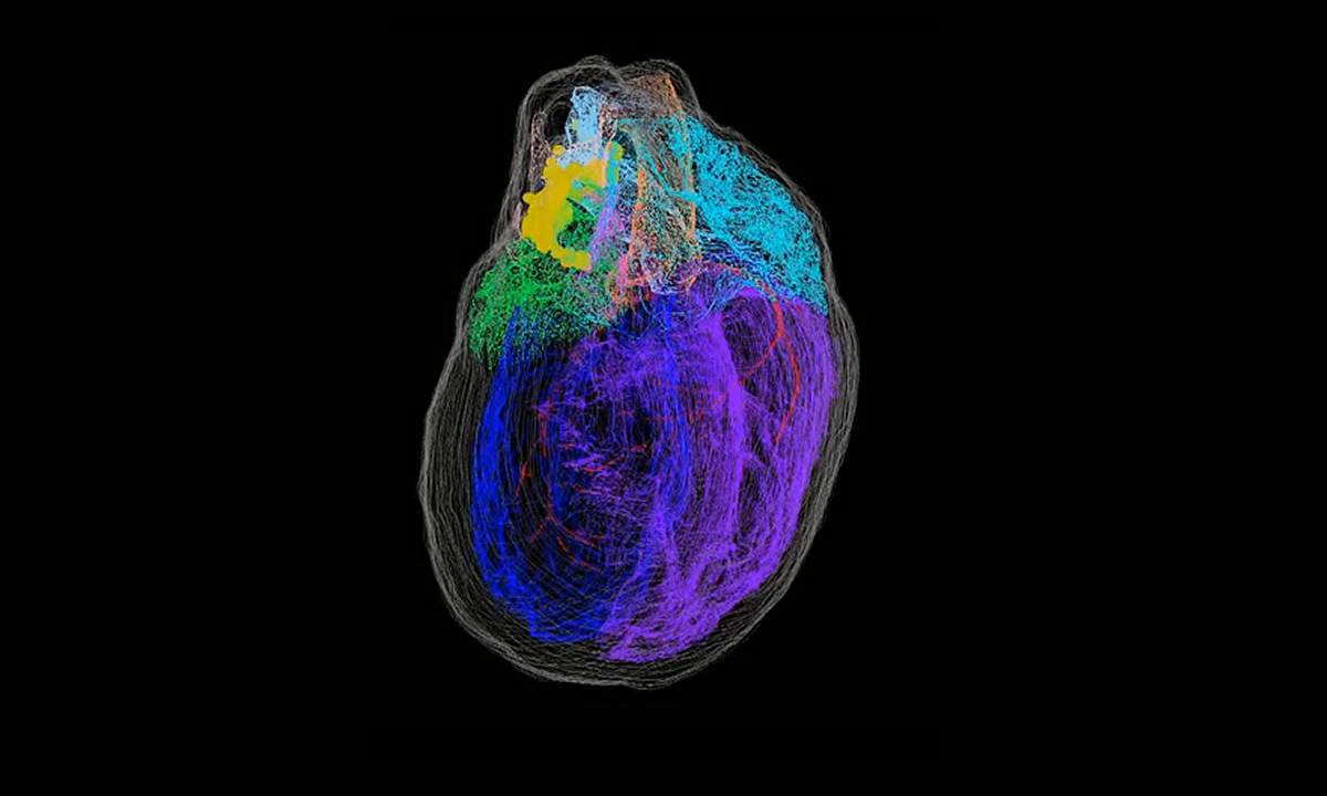 Researchers create the first 3D map of heart neurons