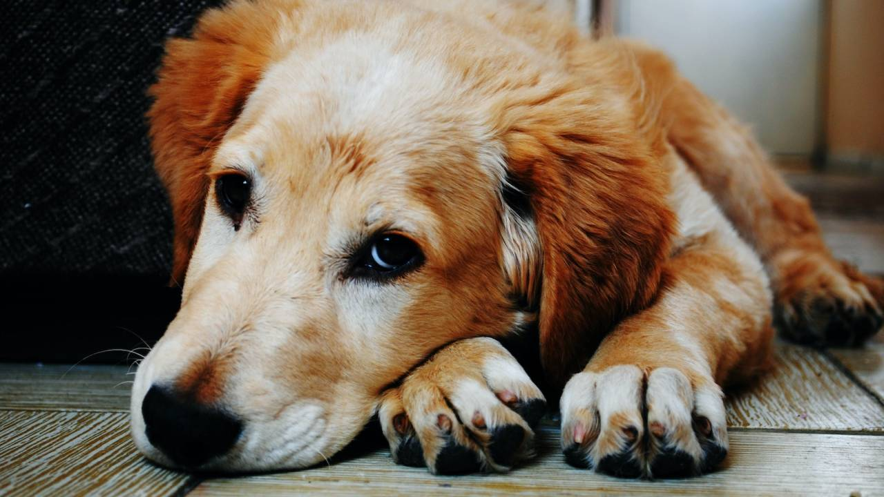 FDA issues coronavirus pet guidelines: What dog and cat owners should do