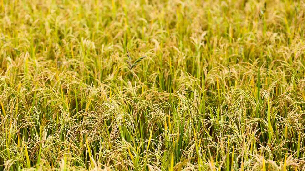 Researchers genetically modified rice to replace blood pressure drugs