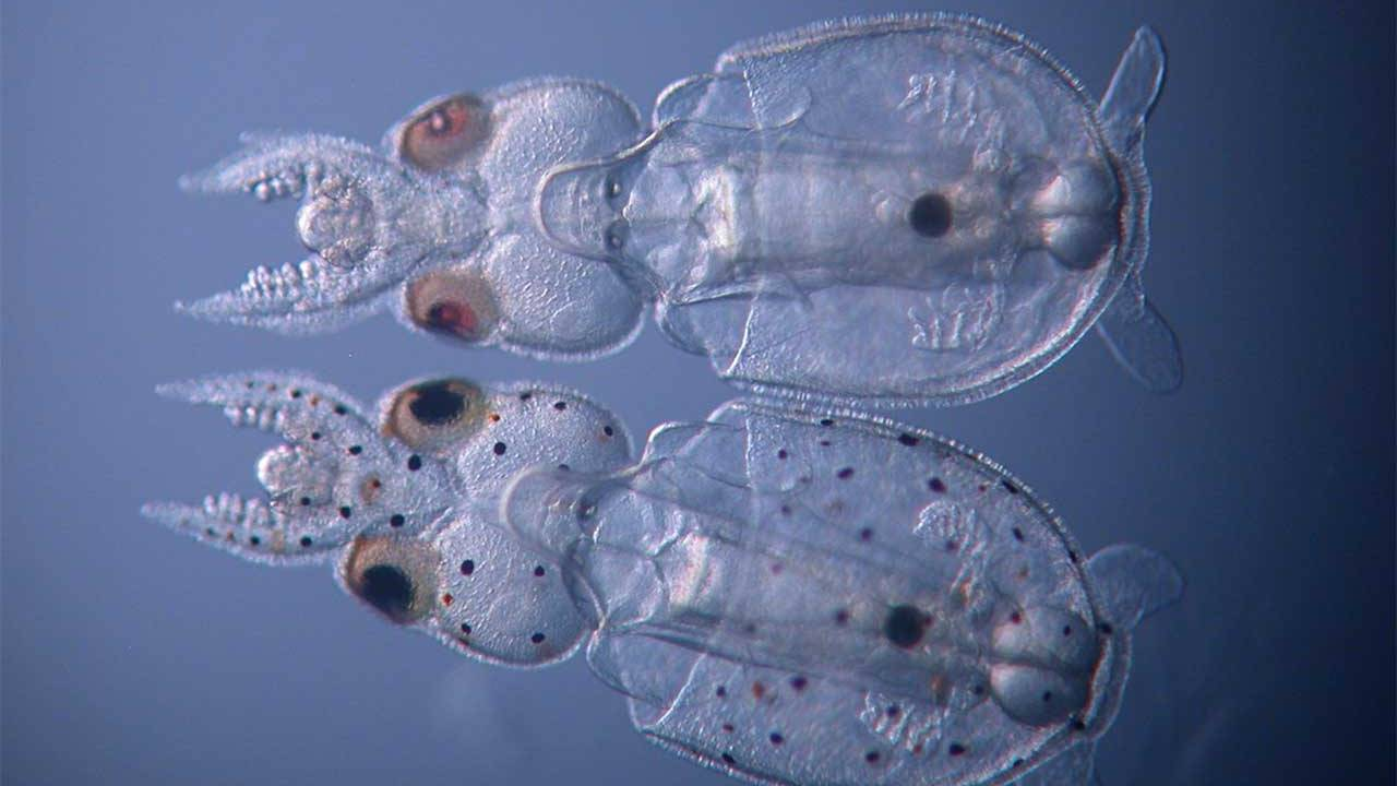 Scientists achieve gene knockout in a cephalopod for the first time