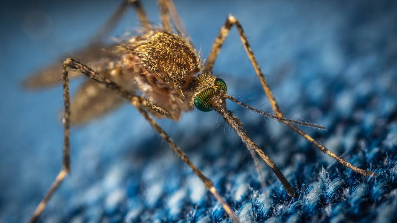 Mutant mosquitoes approved to help Florida fight dengue and Zika