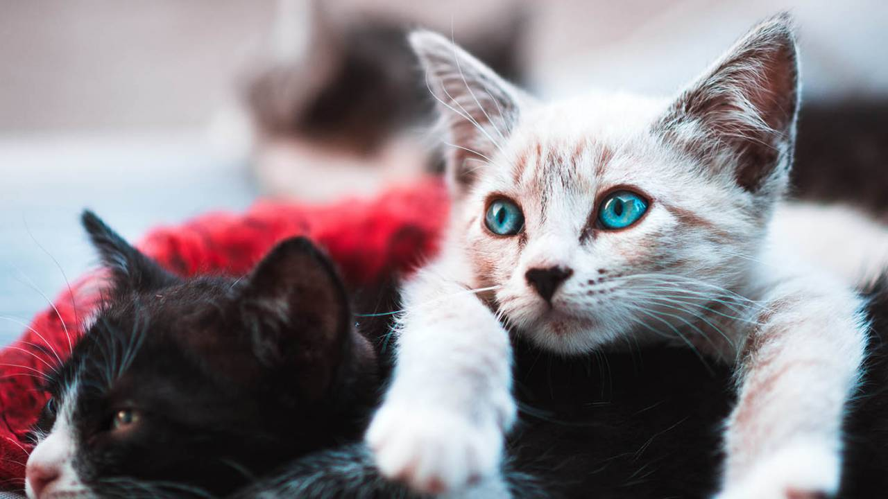 Study finds many more cats are infected with COVID-19 than expected