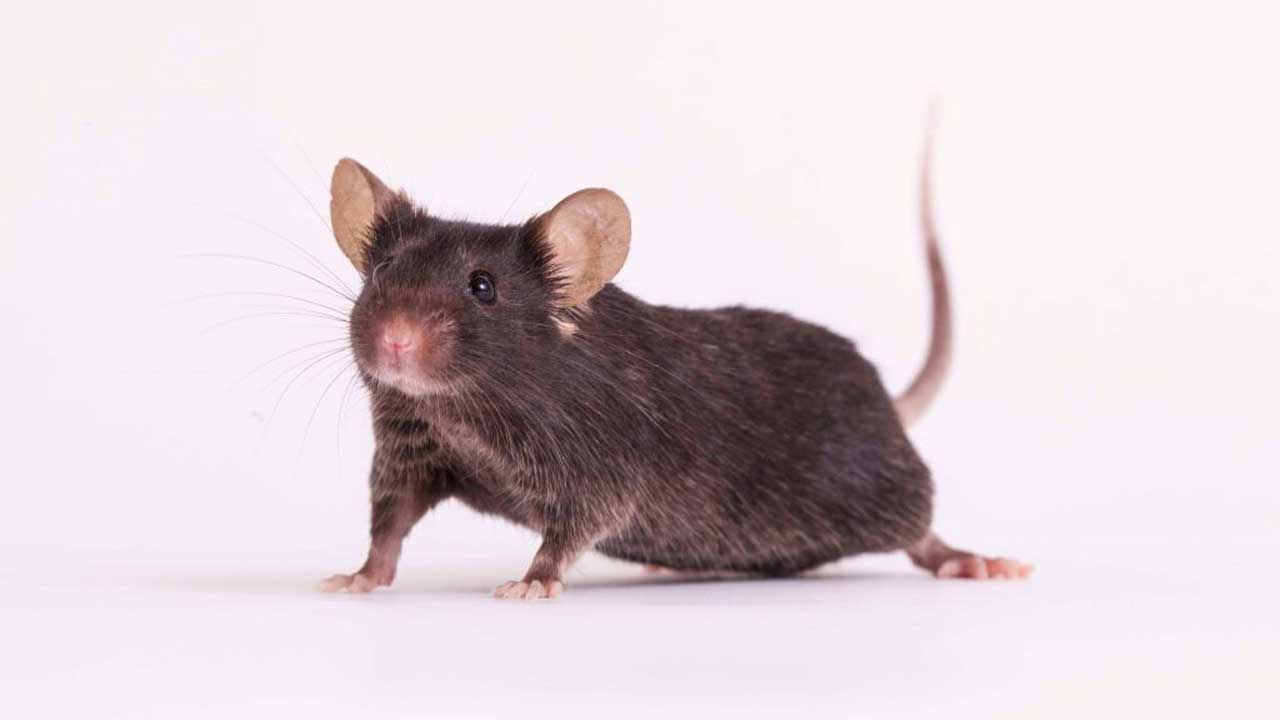 Blocking the protein myostatin keeps mice muscled in space