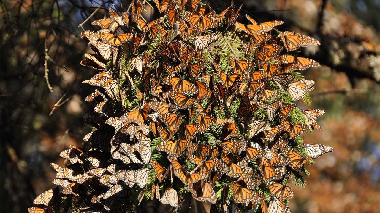 Engineers track Monarch butterfly migration using tiny computers