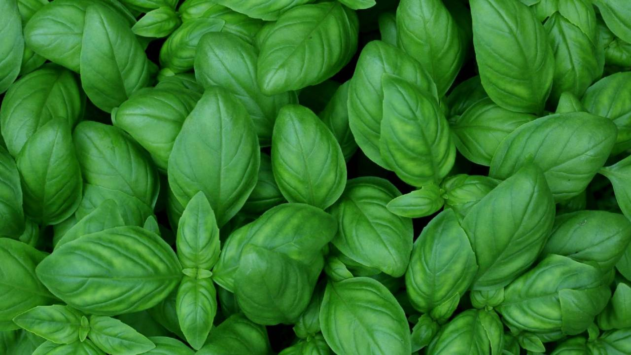 Fresh basil recalled in several states over risk of parasitic infection