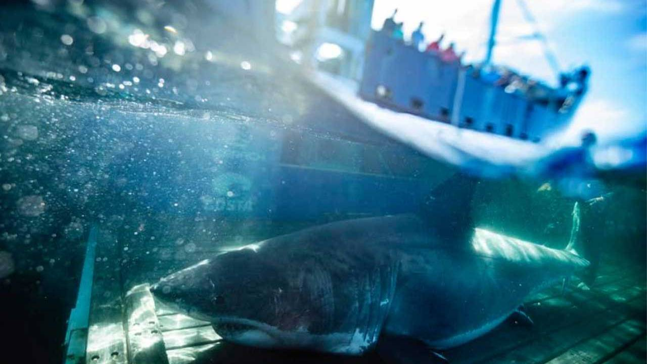 Gigantic 2000 pound great white shark spotted near Miami