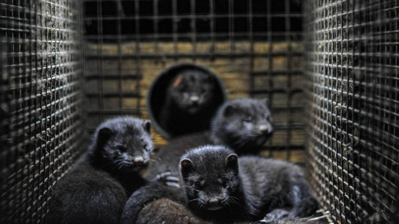 Denmark to cull all mink after warning about 'serious' virus mutation risk