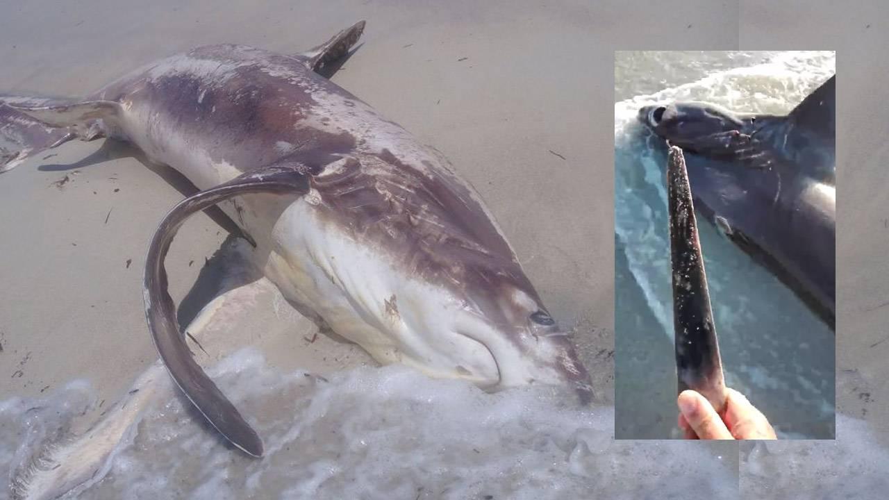"""Study clears up shark """"sword"""" battle mystery"""