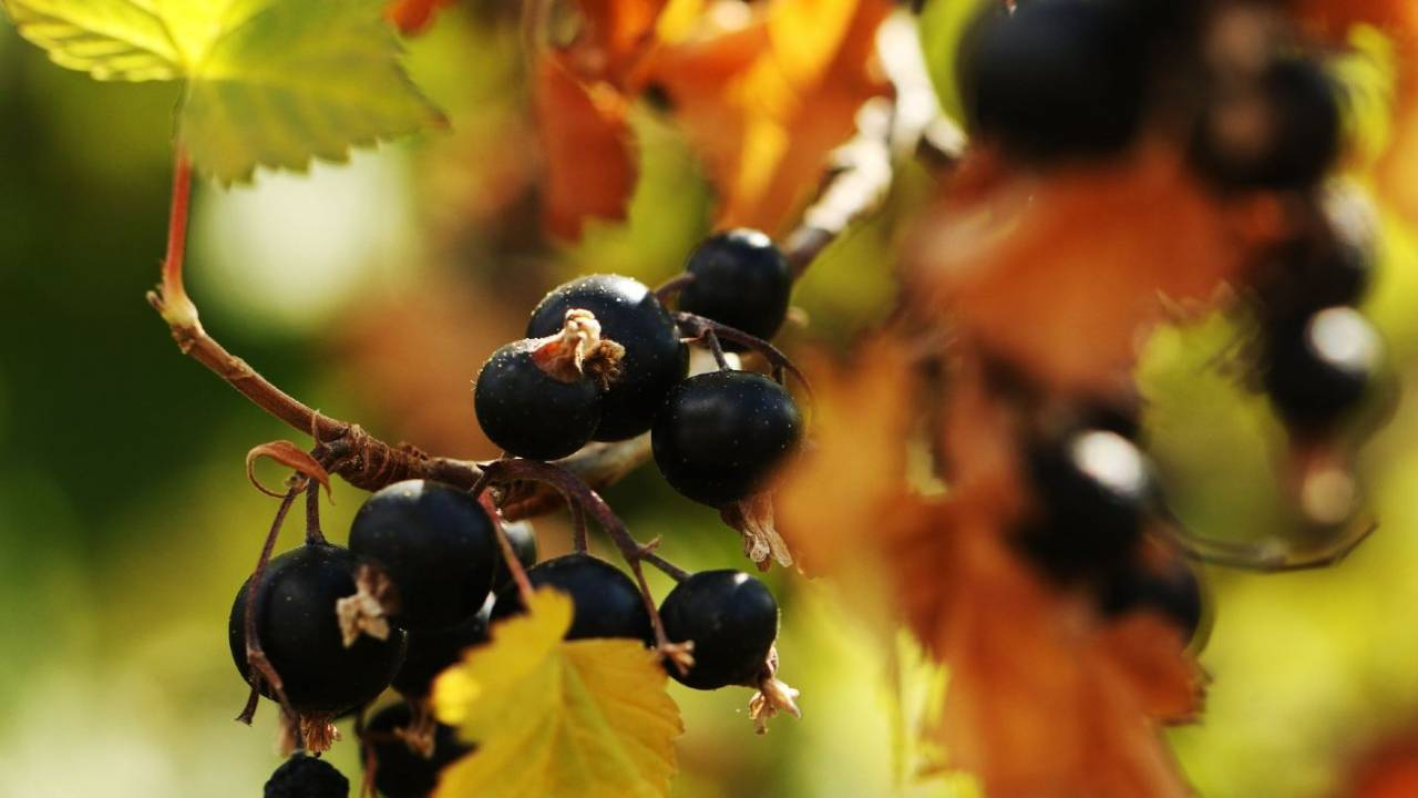Blackcurrant berries have a powerful impact on blood sugar after meals