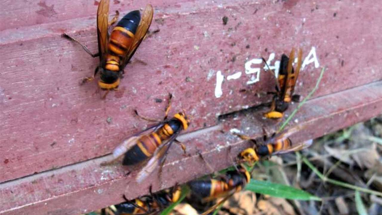 Some honeybees use animal dung to ward off giant hornets