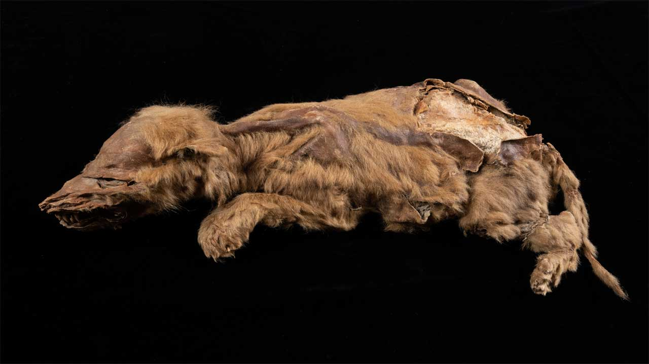 A 57,000-year-old wolf pup discovered while gold-mining still has fur