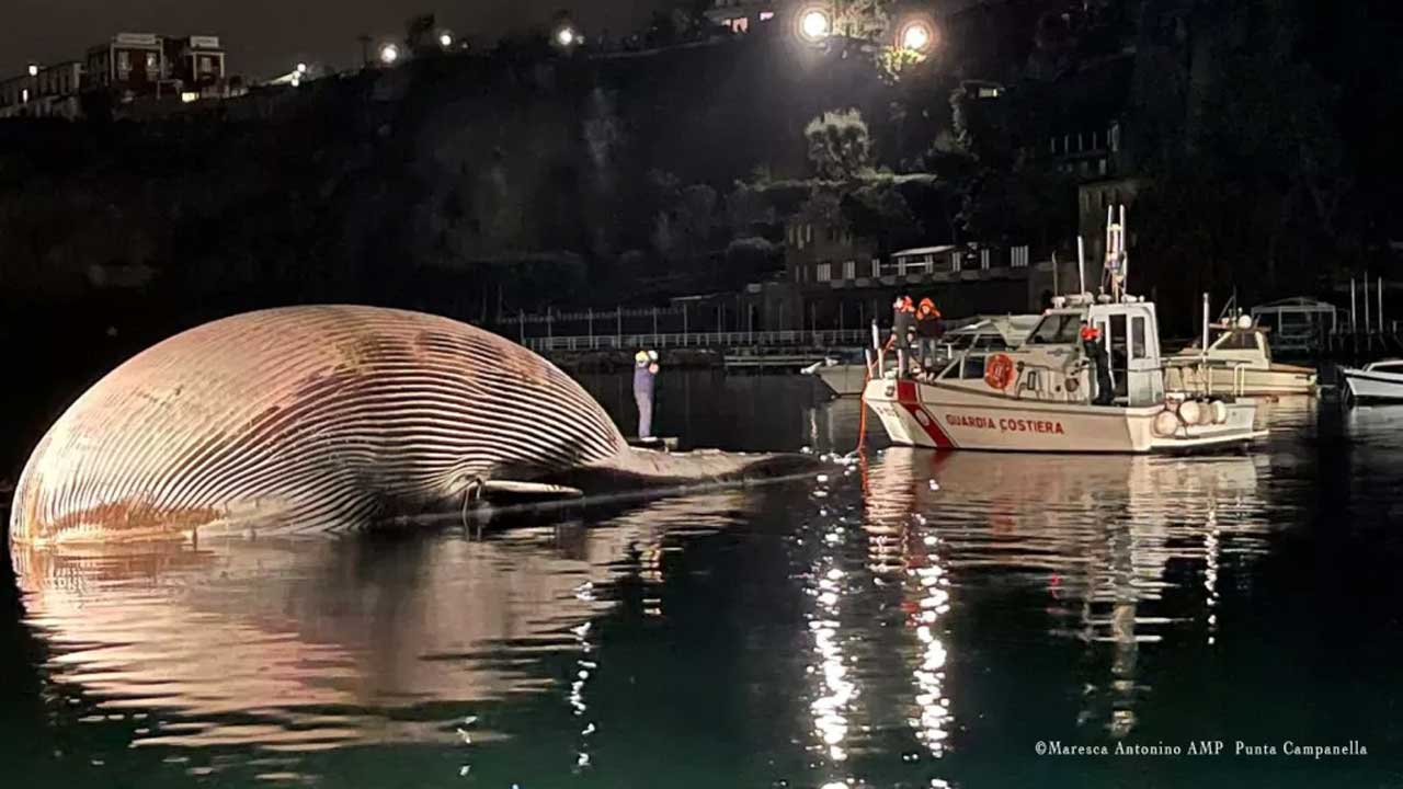 Gigantic dead finback whale discovered the Mediterranean