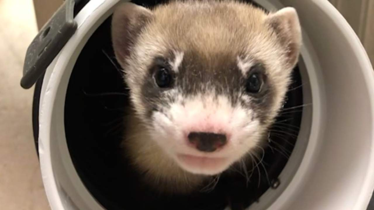 This adorable black-footed ferret is a rare cloning breakthrough