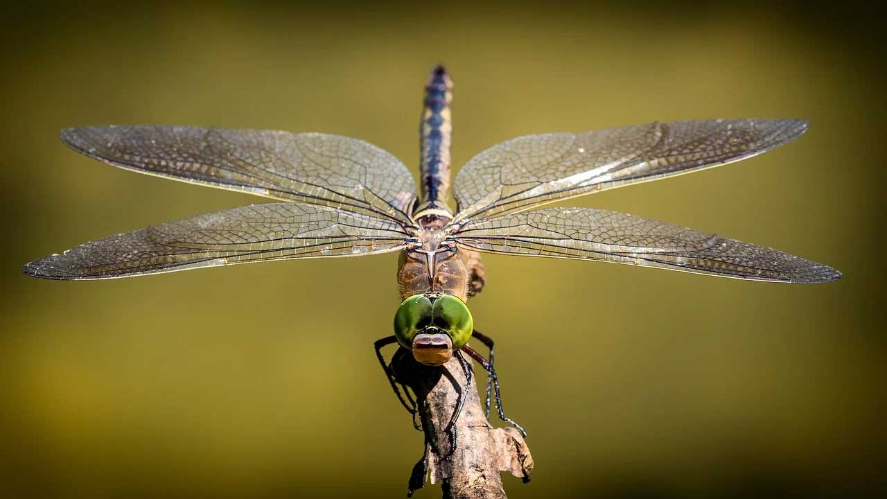 Dragonflies use backflips to right themselves when thrown off balance