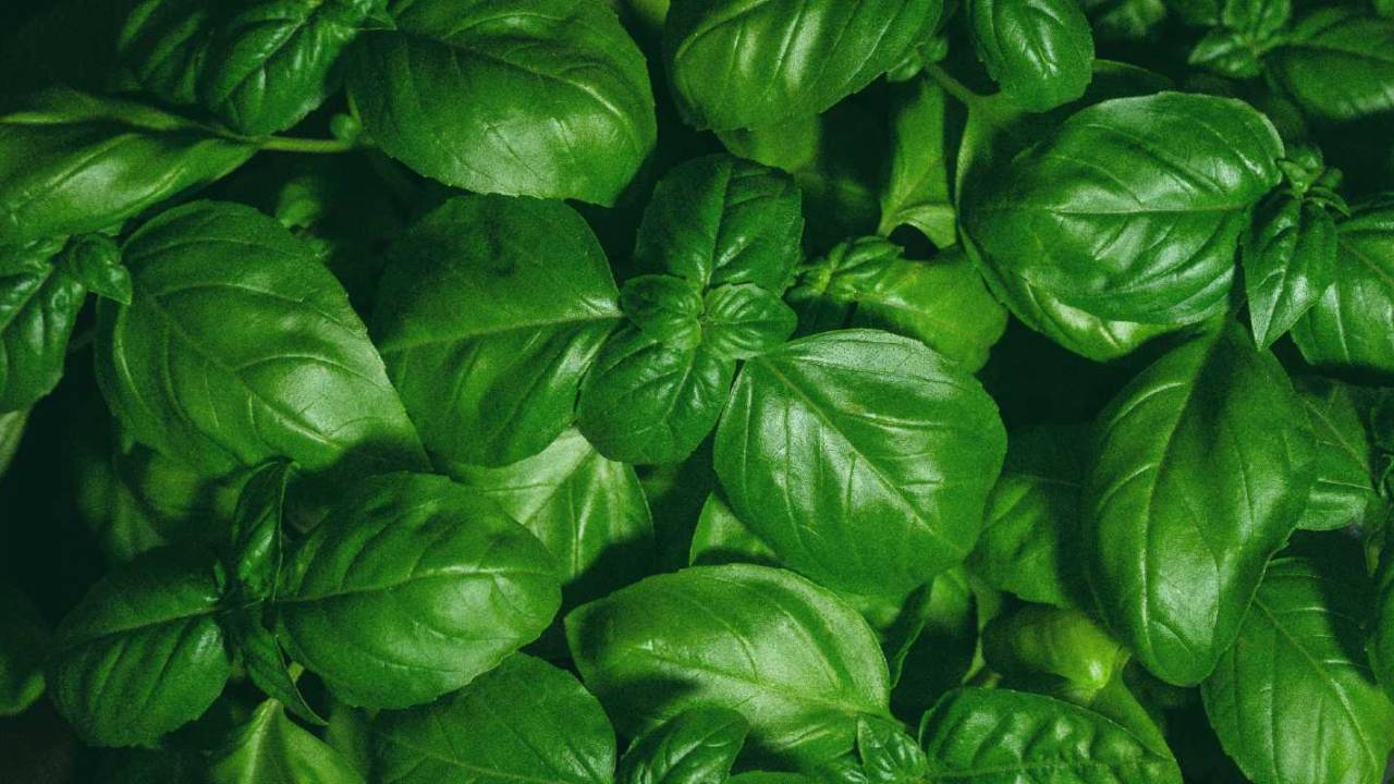 More fresh basil recalled over intestinal parasite risk