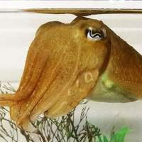 Cuttlefish study finds those able to delay gratification the longest are the smartest