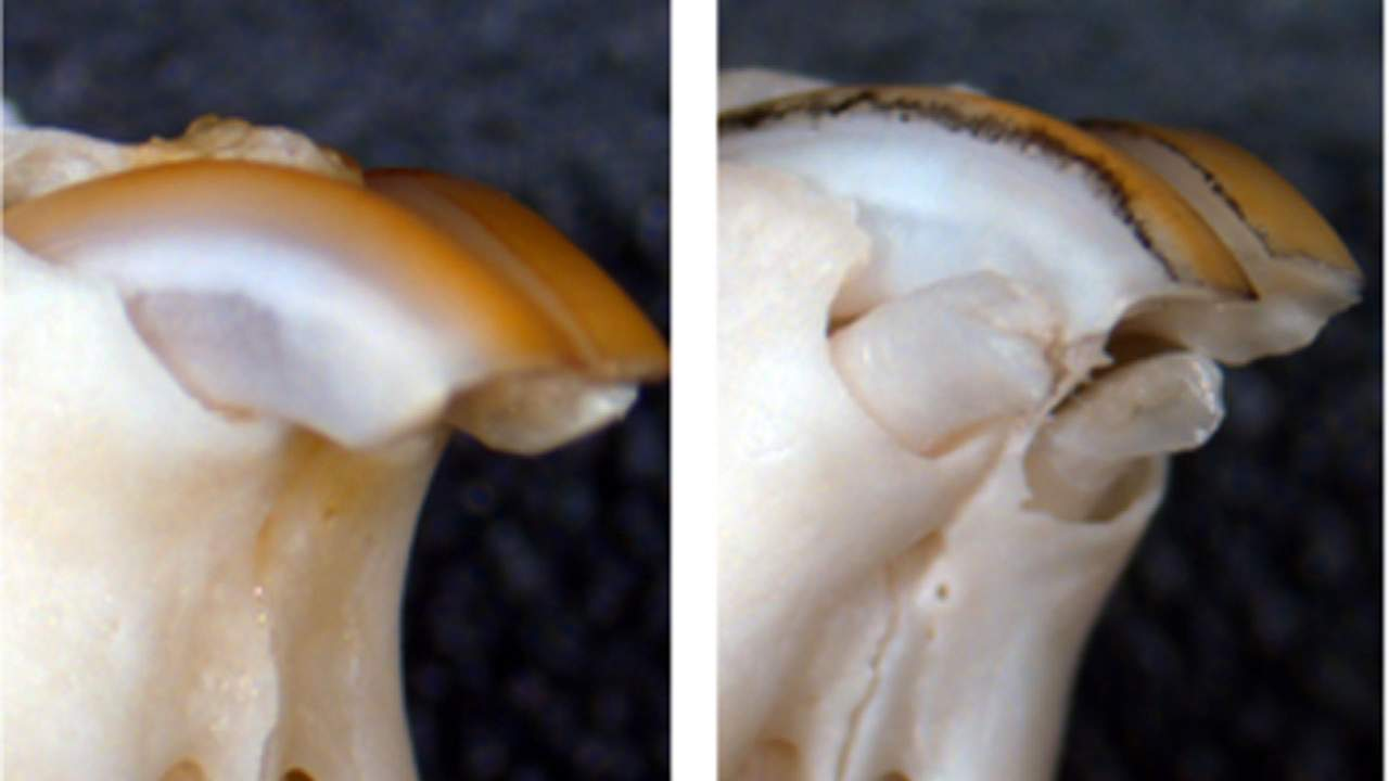 Japanese researchers discover a method for regrowing teeth in mice