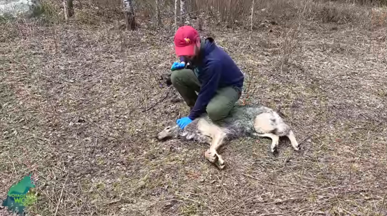 Researchers recover video footage from a wolf's collar