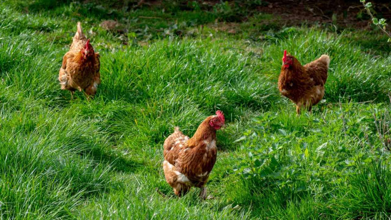 CDC says backyard chickens are behind another big outbreak