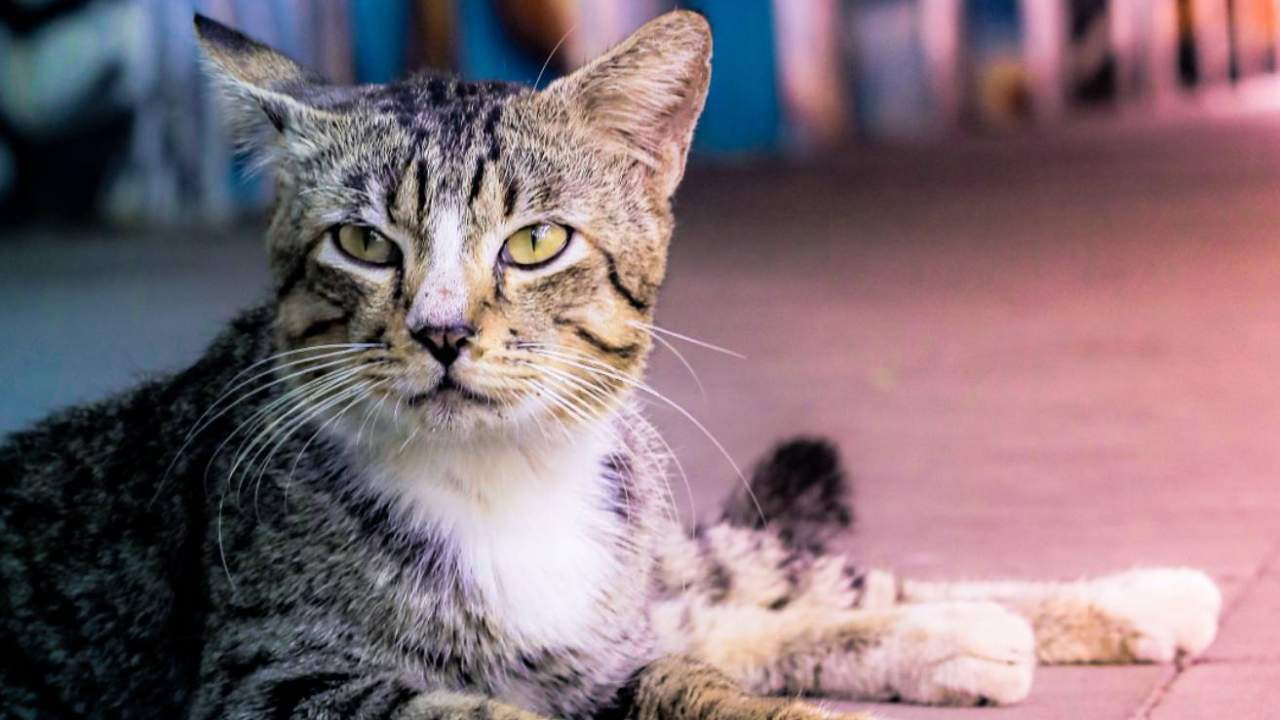 Chicago is strategically using feral cats to deal with its huge rat problem
