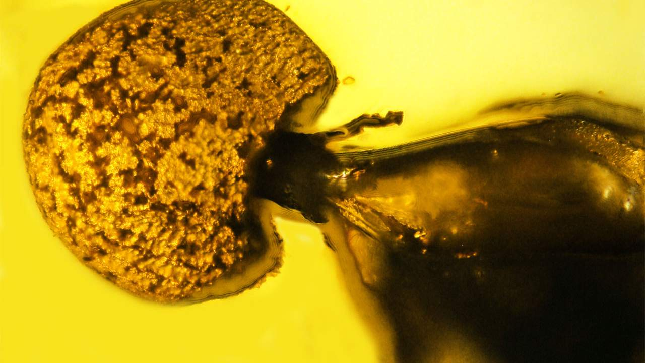 Amber-encased ant discovered with a new type of fungal parasite attached
