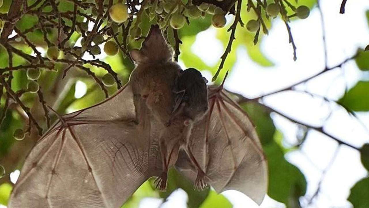 Social distancing is used among bats to prevent epidemics