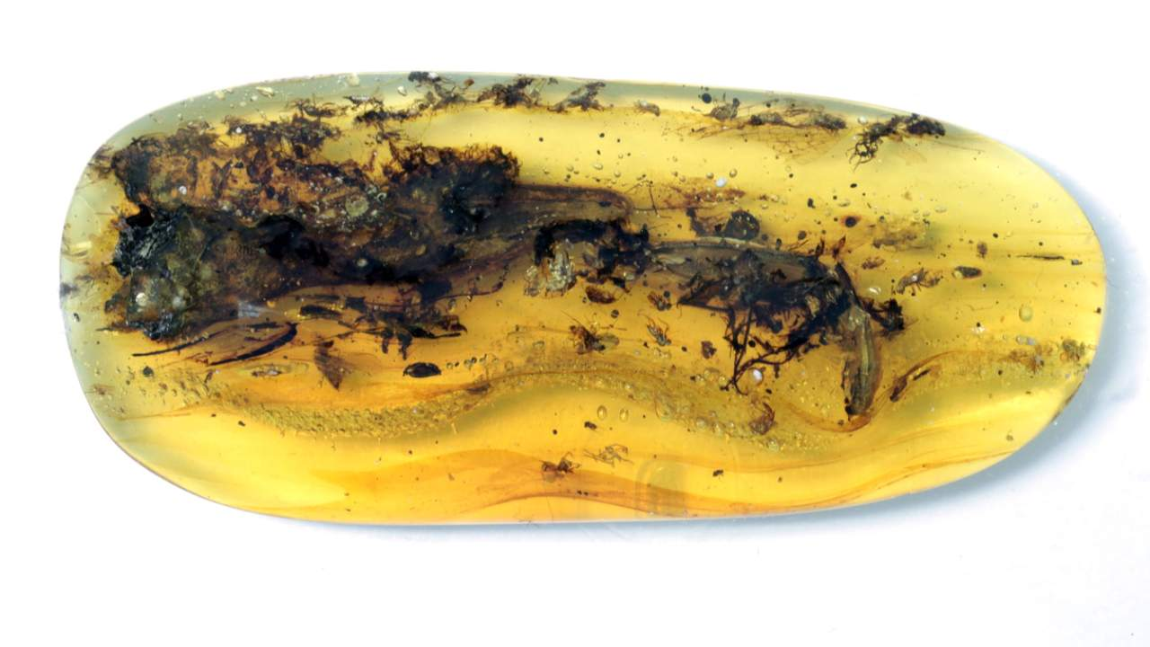Where to find amber fossils