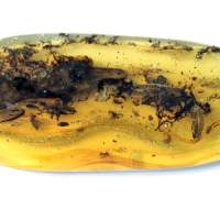 Trapped in amber, a bizarre fossil that had scientists fooled – until now