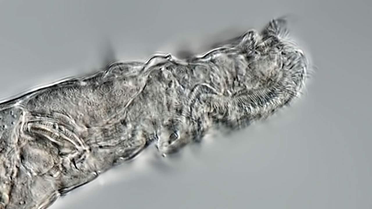 Rotifers may be tougher than tardigrades