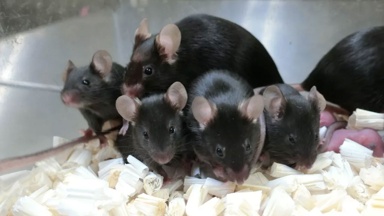 NASA uses freeze-dried mouse sperm from the ISS to fertilize eggs