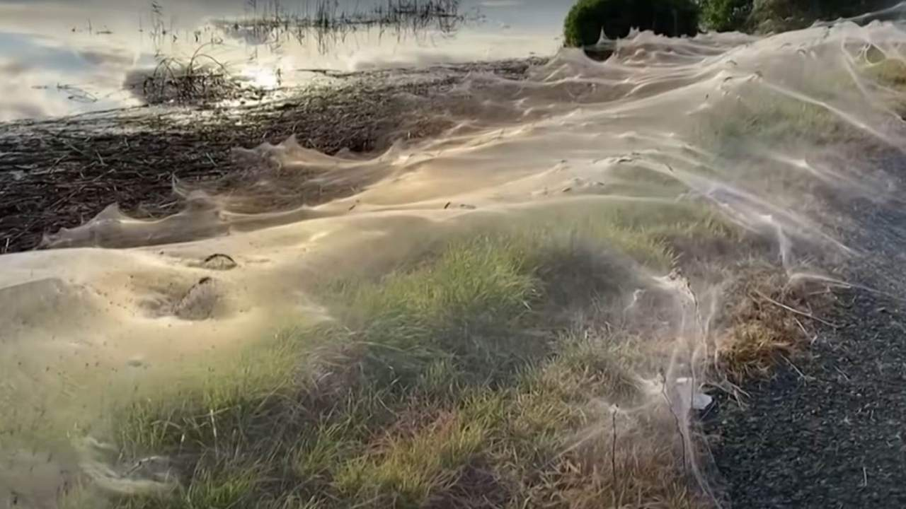 Thousands of desperate spiders made a massive rolling web in Australia