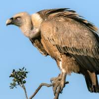 Vulture becomes first bird to get permanent bionic limb replacement