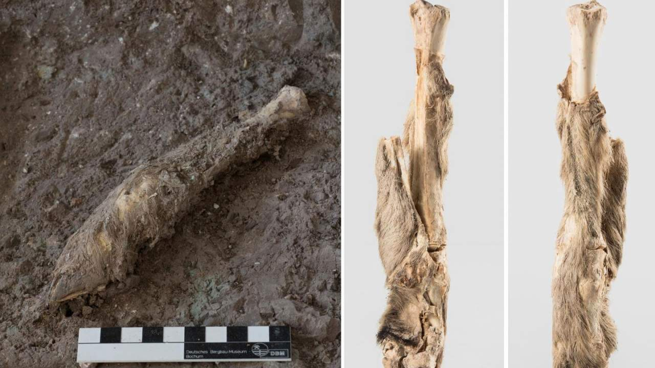 Scientists extract DNA from mummified 1600-year-old sheep leg