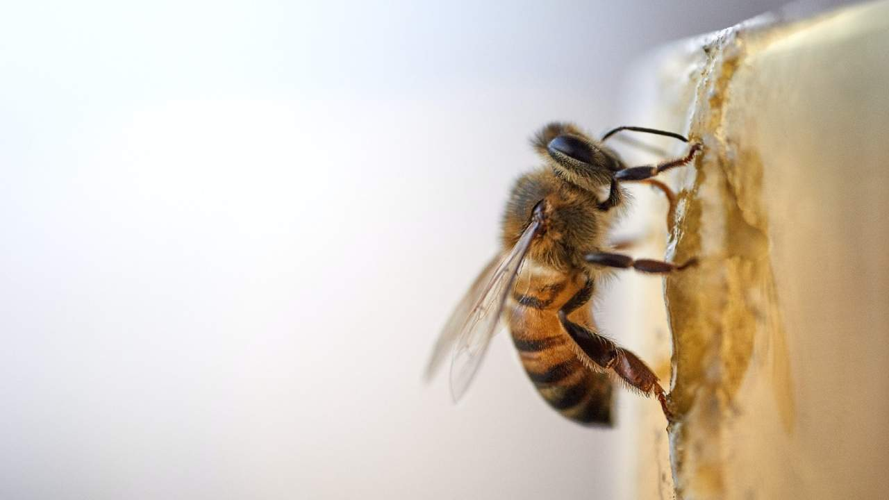 It turns out caffeine helps bees get work done, too